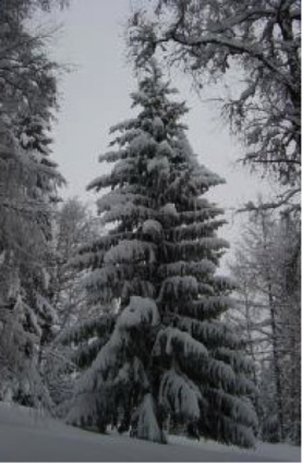 juletre-i-skogen